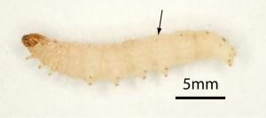 Melmøllarven er hvidgul eller let lyserød og har sorte pletter