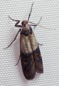 Et tofarvet frømøl kan kendes på dets farveopdeling på vingerne