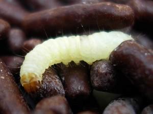 De tofarvede frømøllarver har hvide kroppe og brunlige hoveder
