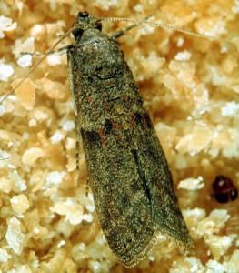 Daddelmøllet har mange tilnavne og kan nemt forveksles med andre arter af møl