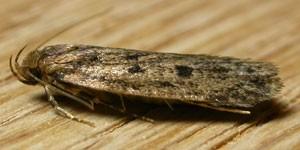 Frømøl har gyldenbrune vinger med mørke pletter