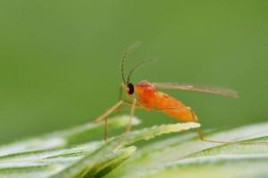 Galmyg er små, spinkle myg, der typisk er ca. 1 mm lange