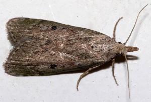 Humlevoksmøl er en stor mølart - bemærk at hunnerne (som ses på billedet) ikke ligner hannerne