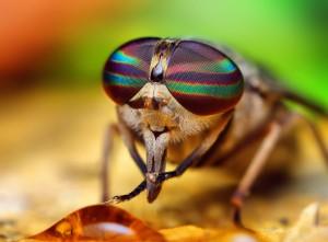 En klæg er en stor flueart, der bider mennesker og dyr
