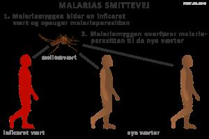 Malariamyggen skal suge blod fra en inficeret vært for at kunne overføre malariaparasitten til nye værter
