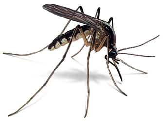 Myg er små bevingede insekter, der udgør familien Culicidae