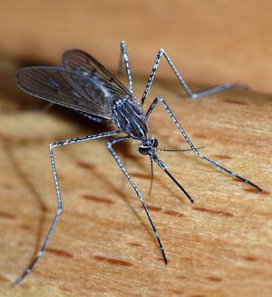 Der findes mange tusinde myggearter i verden og mere end 1600 i Danmark