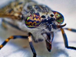 En regnklæg har store øjne, der især bruges til at finde bytte