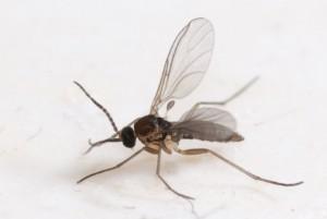 Sørgemyg er små mørke myg, hvis larver kan angribe planterødder