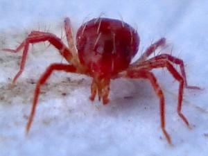 Spinderovmider er spindemidernes primære rovdyr