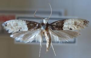 Tapetmøl er nemme at kende fra andre arter pga. deres udseende