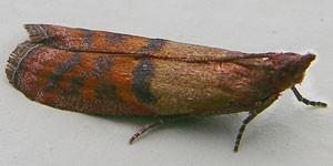 Tofarvede frømøls vinger er kobberrøde i bunden og brune i toppen